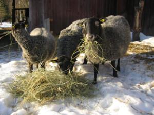 spann_Agro-får-vinter